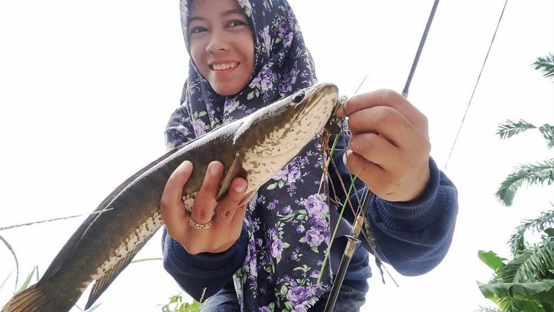Cara Budidaya Ikan Gabus